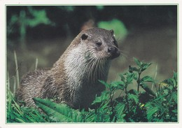 Postcard Otter Dixon Collectacard 10 Of 15 My Ref  B22311 - Animals
