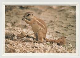 """NAMIBIE : CP """"Africa Wildlife Series - Ground Squirrel"""" - Très Bel Affranchissement Au Verso - - Namibia"""