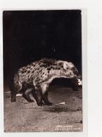 Hyena - Ethiopie