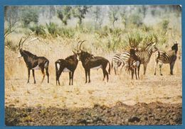 SOUTH AFRIKA KWAGGAS EN SWARTWITPENSE ZEBRA AND SABLE ANTELOPE 1984 - Sud Africa
