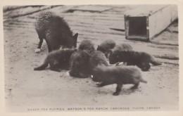 Carcross Yukon Canada, Watson's Fox Ranch, Silver Fox Puppies, C1920s/40s Vintage Real Photo Postcard - Yukon
