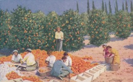 Jaffa Orange Production, Picking And Packing In Orchard, 1920s/30s Vintage Postcard - Cultivation