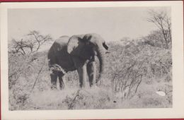 Old Photo Card German Studio Nink Windhoek Windhuk Olifant Elephant Tsumeb Namibia Colonial Photography +/- 1935 - Documents Historiques