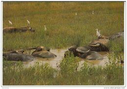 Dayly Life Of Vietnam - Stork Helps Buffals Make Hygienie Animali Bufali - Vietnam