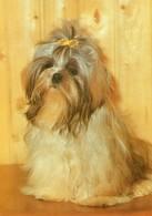 Shih Tzu - Hunde