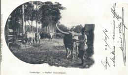 CAMBOBGE.....ANIMAUX....BUFFLES Domestiques...animée    PIONNIERE 1904 - Viêt-Nam