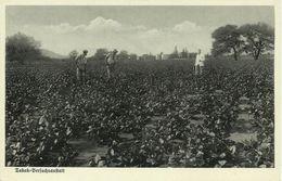 AK Deutsch-Südwestafrika / Namibia Tabak-Plantage Propaganda ~1919 #03 - Ehemalige Dt. Kolonien