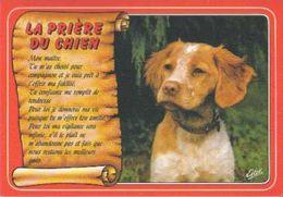 Epagneul Breton - Brittany Spaniel - Dog - Chien - Cane - Hund - Hond - Perro - Honden