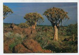 NAMIBIA - AK 316914 Köcherbaumwald Bei Keetmanshoop - Namibia