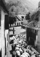Vie Pastorale Dans Les Pyrénées - Transhumance Traversée De Village - Sarrance - Vallée D'Aspe - B87 - Autres Communes