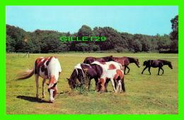 CHEVAUX - HORSES -  NEW FOREST PONIES  - HANTS -  A DIXON-LOTUS PRODUCTION - - Chevaux
