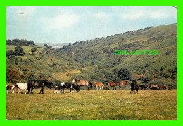 CHEVAUX - HORSES - DARTMOOR PONIES, DEVON - TRAVEL IN 1966 - - Chevaux