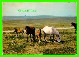 CHEVAUX - HORSES - DARTMOOR PONIES, DEVON - TRAVEL IN 1966 - JARROLD & SONS LTD - - Chevaux