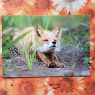 Russia. Kronotsky Nature Reserve. Fox Cub - Modern Russian Postcard - - Animaux & Faune