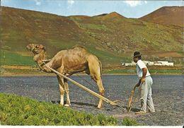 ESPAGNE - ÎLES CANARIES - LABOURAGE Avec Un CHAMEAU  / ATTELAGE / Début Années 70 - Espagne