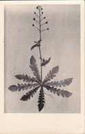AK Foto Zeichnung Einer Blume - Ca. 1948 (33379) - Blumen