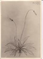 AK Foto Zeichnung Einer Blume - Ca. 1948 (33380) - Blumen