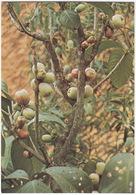 Djamboe-bol  - (Apple/Appel) -  (Fruit - Indonesia) - Bloemen, Planten & Bomen