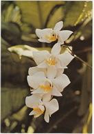 Anggrek Bulan -  (Orchidee - Indonesia) - Bloemen