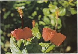 Kembang Sepatoe  - (Hibiscus Archeri)  - Indonesia) - Bloemen