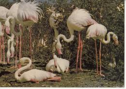 Flamingoes - Flamands Roses - Vögel