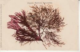 Algues Marines Naturelles-Coll.Lucien Amiaud Les Sables D'Olonne. - Sin Clasificación