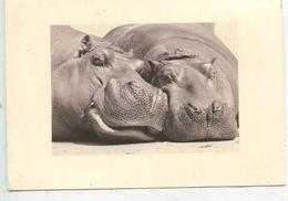Hippopotame - Hippopotames - Hippopotames