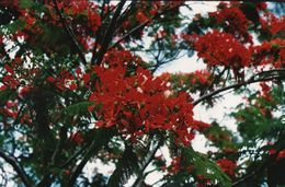 712Ma  Tahiti Grande Photo Originale (27cm X 17cm) Fleurs - Tahiti