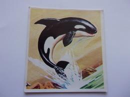 PANINI SUPER ZOO N°176 Orque Orca Zwemvogel Killer Whale - Panini