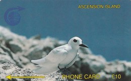 Ascension - Fairy Tern - 2CASB - Ascension