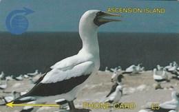 Ascension - White Booby Bird - 3CASA - Ascension