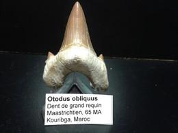 Fossile De Dent De Requin - Fossiles