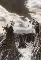 France Recolte De Ble? Agriculture Ancienne Photo De Presse Trampus 1942 - Professions