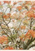 712Ma  Tahiti Grande Photo Originale (25cm X 17.5cm) Un Arbre à Fleurs - Tahiti