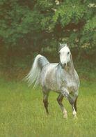 HORSES / PFERDE / CHEVAUX /    POSTCARD  UNUSED     ( H  4969 ) - Pferde