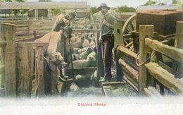 Elevage De Moutons - Bain De Prophilaxie -  Dipping Sheep - Crías