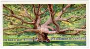 Chromo Chocolaterie / Chocolat D'Aiguebelle (Drôme) - Les Arbres Extraordinaires : Chêne Américain Géant, Floride - Aiguebelle