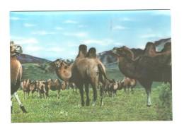 01243 Camel Herd 3D Lenticular PC - Mongolia