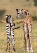 Giraffe Und Zebra - Nicht Gelaufen - Giraffen