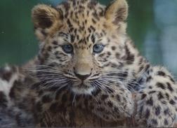 Gepard - Nicht Gelaufen - Löwen
