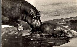 CPSM Faune Africaine : Maman Et Bébé Hippopotame - Hippopotames