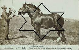 Etalon Ardennais. Appartenant à Mme Solvay, Ferme Des Baraques, CHAMBLEY (Meurthe Et Moselle) - Chevaux