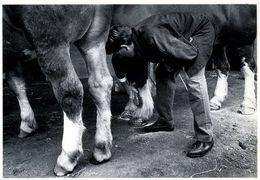 Landivisiau (29) : éleveur Brossant Son Cheval Breton (1988) Par Bernard Cornu - Landivisiau