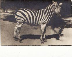 Zoo. Zebra - Horses