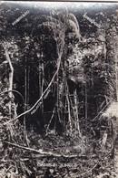 CANES  IN JUNGLE. KIYONO & CO, SINGAPORE, MALACCA CANES. ADVERTISING-TBE-BLEUP - Singapore