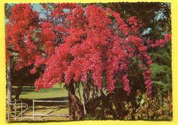 Australia  -   Flowering Bougainvillea - Queensland - Ed. Murray Views W 552 - Australia