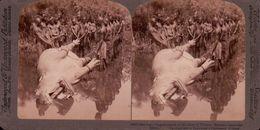 NYANZA EQUATORIAL CHASSEURS D'HIPPOPOTAME , NU AFRICAIN 1880/1900 ( PHOTO STEREOSCOPIC ) - Photos Stéréoscopiques
