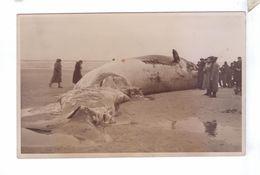 59 DUNKERQUE Carte Photo Baleine Echouee Sur La Plage - Dunkerque