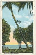 HAWAII - Gathering Coconuts - Etats-Unis
