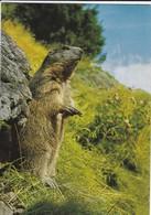 ANIMAUX---marmotte--marmot--murmeltier--marmota --voir  2 Scans - Other